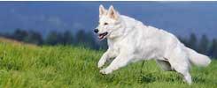 Senior German Shepherd Adoption