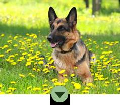 Adopt a German Shepherd today